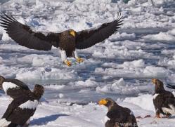 stellers-sea-eagle-japan5756copyright-photographers-on-safari-com