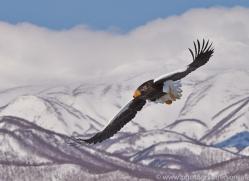 stellers-sea-eagle-japan5757copyright-photographers-on-safari-com
