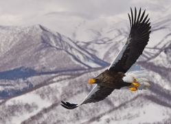 stellers-sea-eagle-japan5758copyright-photographers-on-safari-com
