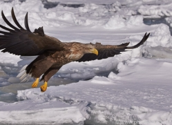 stellers-sea-eagle-japan5759copyright-photographers-on-safari-com