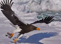 stellers-sea-eagle-japan5762copyright-photographers-on-safari-com