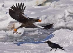 stellers-sea-eagle-japan5763copyright-photographers-on-safari-com