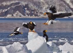 stellers-sea-eagle-japan5764copyright-photographers-on-safari-com