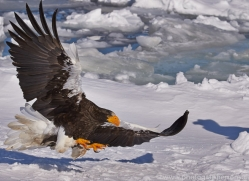 stellers-sea-eagle-japan5765copyright-photographers-on-safari-com