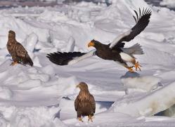 stellers-sea-eagle-japan5766copyright-photographers-on-safari-com