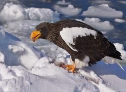 stellers-sea-eagle-japan5768copyright-photographers-on-safari-com