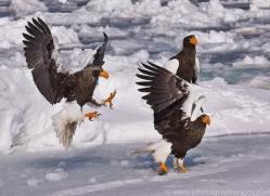 stellers-sea-eagle-japan5769copyright-photographers-on-safari-com