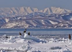 stellers-sea-eagle-japan5770copyright-photographers-on-safari-com