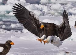 stellers-sea-eagle-japan5771copyright-photographers-on-safari-com