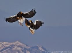 stellers-sea-eagle-japan5776copyright-photographers-on-safari-com
