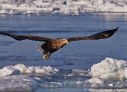 stellers-sea-eagle-japan5780copyright-photographers-on-safari-com