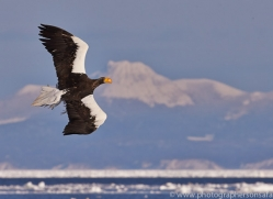stellers-sea-eagle-japan5782copyright-photographers-on-safari-com