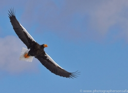 stellers-sea-eagle-japan5784copyright-photographers-on-safari-com