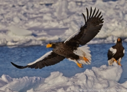 stellers-sea-eagle-japan5790copyright-photographers-on-safari-com