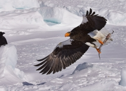 stellers-sea-eagle-japan5792copyright-photographers-on-safari-com
