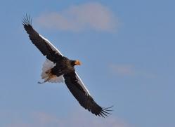 stellers-sea-eagle-japan5793copyright-photographers-on-safari-com