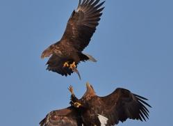 stellers-sea-eagle-japan5794copyright-photographers-on-safari-com