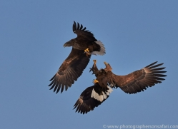 stellers-sea-eagle-japan5795copyright-photographers-on-safari-com