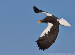 stellers-sea-eagle-japan5797copyright-photographers-on-safari-com