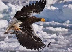 stellers-sea-eagle-japan5798copyright-photographers-on-safari-com