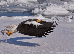 stellers-sea-eagle-japan5801copyright-photographers-on-safari-com