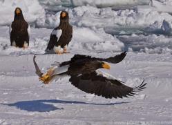 stellers-sea-eagle-japan5803copyright-photographers-on-safari-com