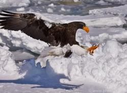 stellers-sea-eagle-japan5804copyright-photographers-on-safari-com