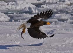 stellers-sea-eagle-japan5805copyright-photographers-on-safari-com