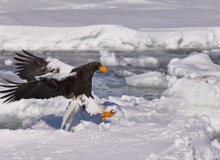 stellers-sea-eagle-japan5806copyright-photographers-on-safari-com