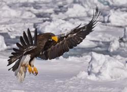 stellers-sea-eagle-japan5807copyright-photographers-on-safari-com