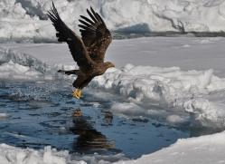 stellers-sea-eagle-japan5811copyright-photographers-on-safari-com