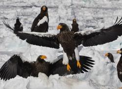 stellers-sea-eagle-japan5813copyright-photographers-on-safari-com