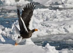 stellers-sea-eagle-japan5814copyright-photographers-on-safari-com