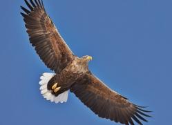 white-tailed-eagle-japan5841copyright-photographers-on-safari-com
