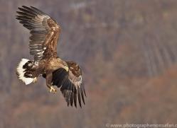 white-tailed-eagle-japan5842copyright-photographers-on-safari-com