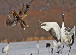 white-tailed-eagle-japan5844copyright-photographers-on-safari-com