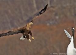 white-tailed-eagle-japan5845copyright-photographers-on-safari-com
