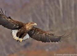 white-tailed-eagle-japan5846copyright-photographers-on-safari-com