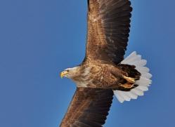 white-tailed-eagle-japan5847copyright-photographers-on-safari-com
