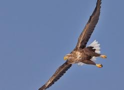 white-tailed-eagle-japan5848copyright-photographers-on-safari-com