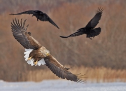 white-tailed-eagle-japan5850copyright-photographers-on-safari-com