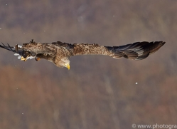 white-tailed-eagle-japan5851copyright-photographers-on-safari-com
