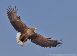 white-tailed-eagle-japan5852copyright-photographers-on-safari-com