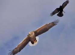 white-tailed-eagle-japan5853copyright-photographers-on-safari-com