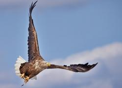 white-tailed-eagle-japan5854copyright-photographers-on-safari-com