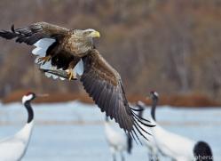 white-tailed-eagle-japan5855copyright-photographers-on-safari-com