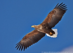 white-tailed-eagle-japan5857copyright-photographers-on-safari-com