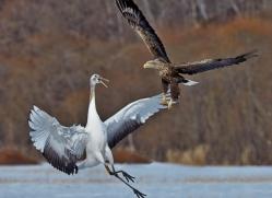 white-tailed-eagle-japan5859copyright-photographers-on-safari-com