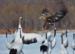 white-tailed-eagle-japan5860copyright-photographers-on-safari-com