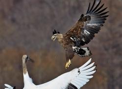white-tailed-eagle-japan5861copyright-photographers-on-safari-com